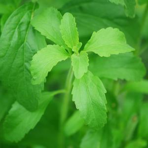 Stevia, sztívia