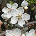 06 Cseresznyeszilva - 10ml