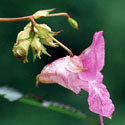 18 Nebáncsvirág - 10ml