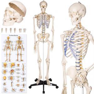 Anatómiai csontváz