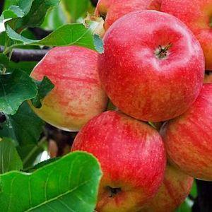 Gyümölcstermesztés