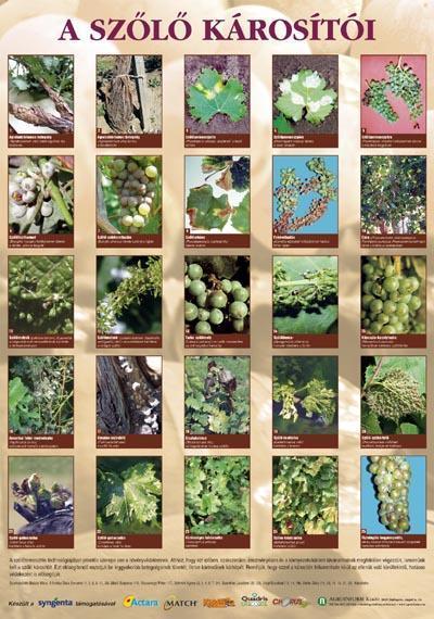 A szőlő károsítói - poszter