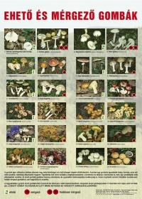Ehető és mérgező gombák - poszter