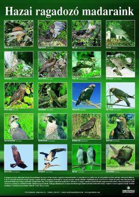 Hazai ragadozó madaraink - poszter