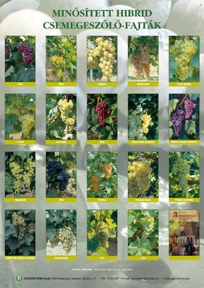 Minősített hibrid csemegeszőlő-fajták - poszter