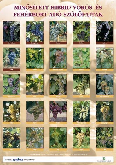 Minősített hibrid vörös- és fehérbort adó szőlőfajták - poszter