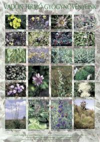 Vadon termő gyógynövények – poszter