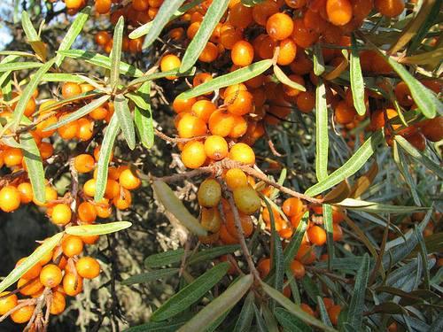 Homoktövisbogyó héj