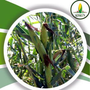 Kettős hasznosítású kukorica