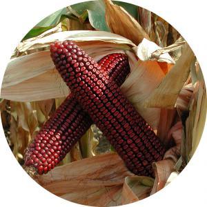 Piros szemű kukorica vetőmagok