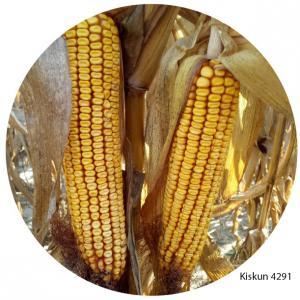 Kiskun 4291 korai kukorica vetőmag (FAO 290) + fácánriasztó csávázás (Korit 420 FS)