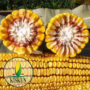 Kiskun 4340 kukorica vetőmag (FAO 350) + mikroelemes csávázás