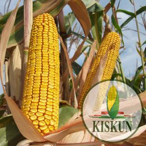 Kiskun 4442  késői érésű kukorica vetőmag (FAO 450)
