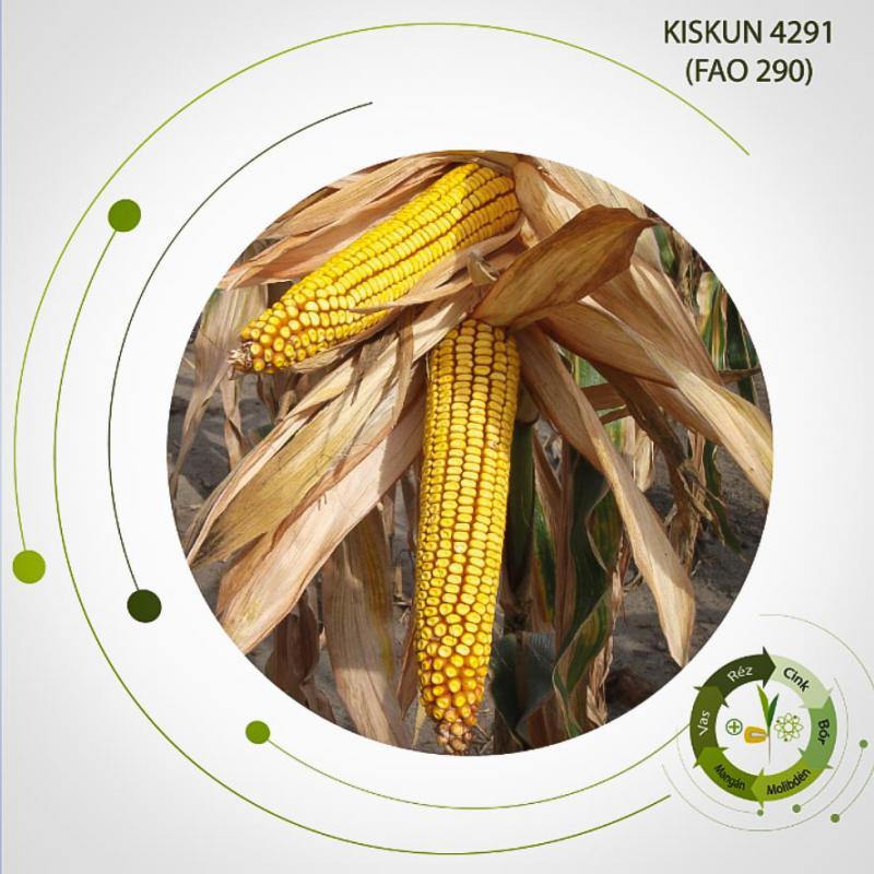 Kiskun 4291 kukorica vetőmag