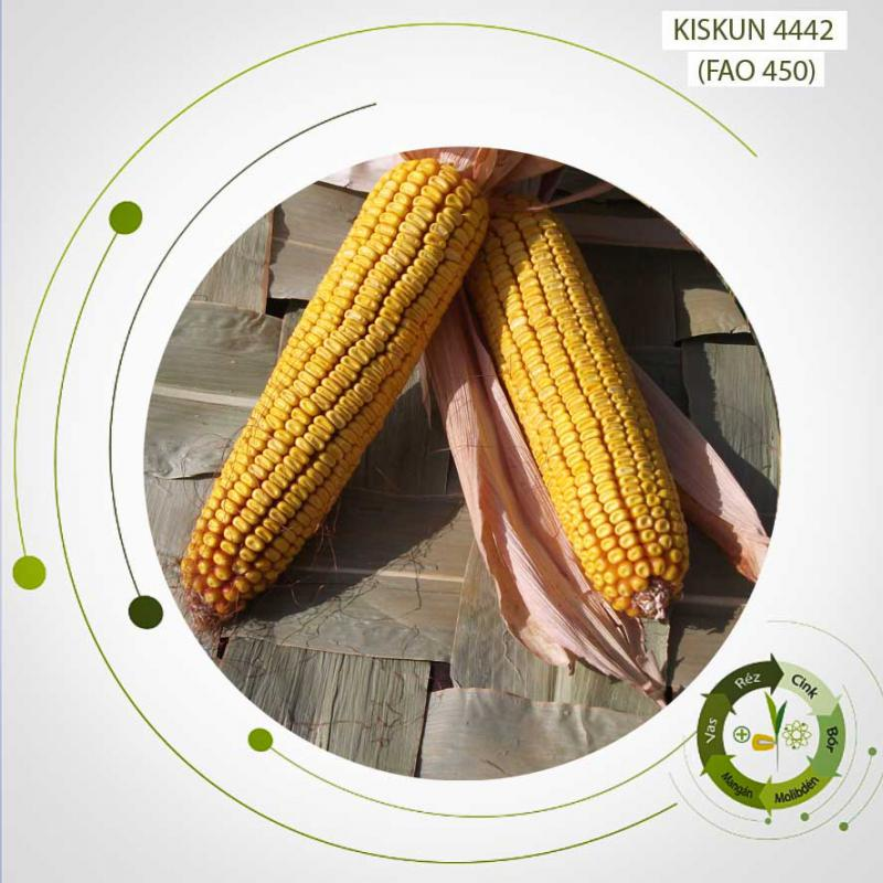 Kiskun 4442 késői érésű, kettős hasznosítású kukorica vetőmag