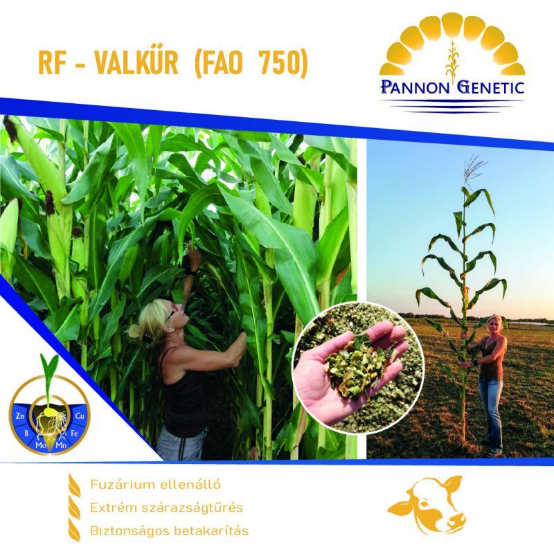 RF - VALKŰR (FAO 750) Silókukorica felszáradás nélkül