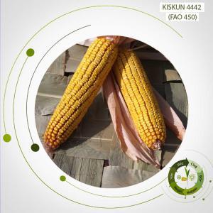 Kiskun 4442 késői érésű, kettős hasznosítású kukorica vetőmag (FAO 450)